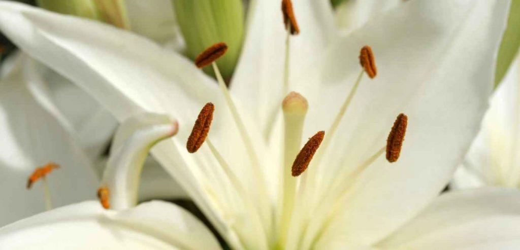 White sonatakka flower